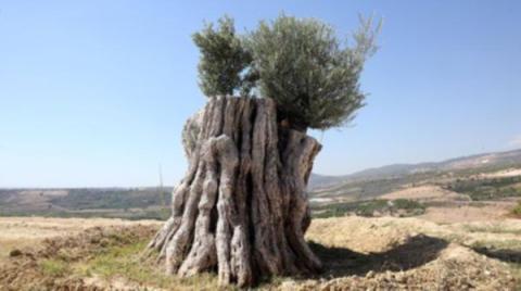 800-yillik-agac-meyve-verdi-7707712